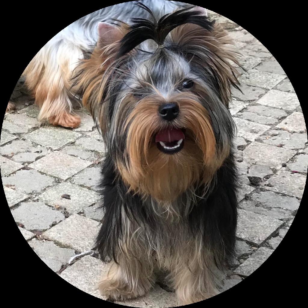 yorkshire terrier - Clos des petites étoiles